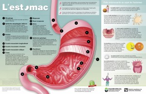Inforgraphie : l'estomac